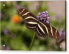 Zebra Longwing Butterfly Acrylic Print by Adam Romanowicz