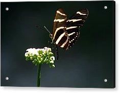 Zebra Longwing Acrylic Print by Greg Allore