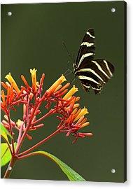 Zebra Longwing On Fire Bush Flowers Acrylic Print by Maresa Pryor