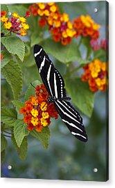 Zebra Longwing On Lantana Acrylic Print by Saija  Lehtonen