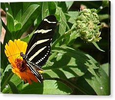 Zebra Longwing On Orange Flower - 105 Acrylic Print