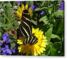 Zebra Longwing On Yellow With Purple Flowers - 103 Acrylic Print