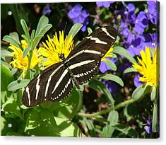 Zebra Longwing On Yellow With Purple Flowers - 104 Acrylic Print