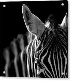 Portrait Of Zebra In Black And White Acrylic Print by Lukas Holas