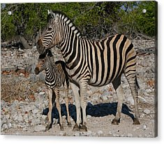 Zebra Mother And Baby Acrylic Print