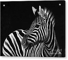 Zebra No. 3 Acrylic Print by Sheryl Unwin
