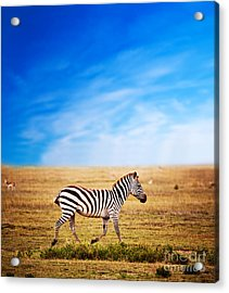 Zebra On African Savanna. Acrylic Print by Michal Bednarek