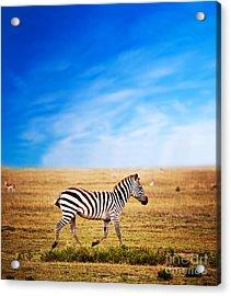 Zebra On African Savanna. Acrylic Print by Michal Bednarek