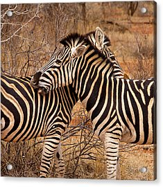 Acrylic Print featuring the photograph Zebra Pair by Phil Stone