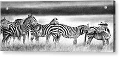 Zebra Panarama Acrylic Print