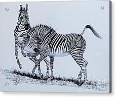 Zebra Play Acrylic Print