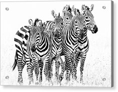 Acrylic Print featuring the photograph Zebra Quintet by Mike Gaudaur