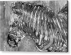 Zebra - Rainy Day Series Acrylic Print by Jack Zulli