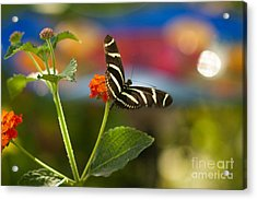Zebra Striped Butterflies Acrylic Print by Cari Gesch