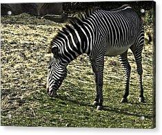 Zebra Striped Fourlegger Acrylic Print by LeeAnn McLaneGoetz McLaneGoetzStudioLLCcom