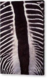 Zebra Stripes Closeup Acrylic Print by Anna Lisa Yoder