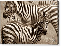 Zebra Stripes Galore Acrylic Print