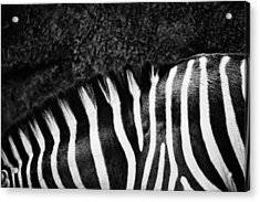 Zebra Stripes Acrylic Print by Joan Herwig