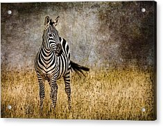 Zebra Tail Flick Acrylic Print by Mike Gaudaur