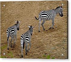 Zebra Tails Acrylic Print