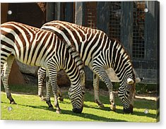Zebra Acrylic Print by Tinjoe Mbugus