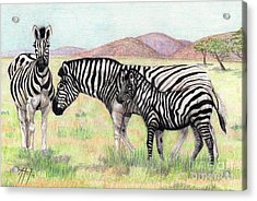 Zebra Trio Acrylic Print by Audrey Van Tassell