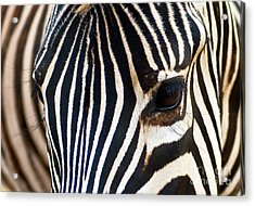 Acrylic Print featuring the photograph Zebra Vibrations by Charles Lupica