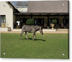 Zebra Walking Across Grass At Royal Acrylic Print by Panoramic Images