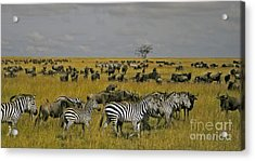 Zebras And Wildebeast   #0861 Acrylic Print