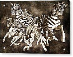 Zebras Acrylic Print by Betsy Knapp