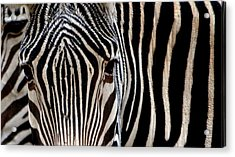 Acrylic Print featuring the photograph Zebras Face To Face by Nadalyn Larsen