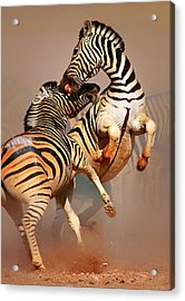 Zebras Fighting Acrylic Print by Johan Swanepoel