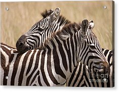 Acrylic Print featuring the photograph Zebras Friendship by Chris Scroggins