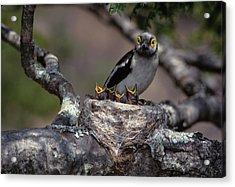Zimbabwe White Helmutshrike On Nest Acrylic Print by Jaynes Gallery