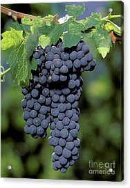 Zinfandel Wine Grapes Acrylic Print by Craig Lovell