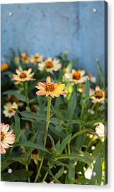 Zinnia Acrylic Print by Denice Breaux