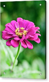 Zinnia Flower (zinnia Sp.) Acrylic Print by Gustoimages/science Photo Library