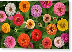 Zinnia Garden Acrylic Print by E B Schmidt