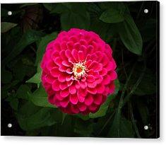 Zinnia In Bloom Acrylic Print