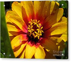 Zinnia Named Swizzle Scarlet And Yellow Acrylic Print by J McCombie