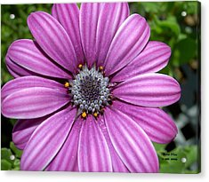 Zinnia Peace Limited Edition Prints From Peace In The Present Moment Book Acrylic Print