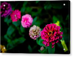 Zinnia Singapore Flower Acrylic Print by Donald Chen