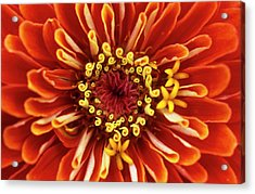 Zinnia (zinnia 'dreamland Coral') Acrylic Print by Jane Sugarman/science Photo Library