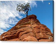 Zion Cypress Acrylic Print by John Daly