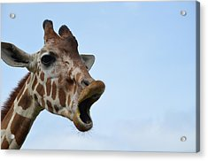 Zootography Giraffe Honking Acrylic Print by Jeff at JSJ Photography