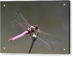 Zootography2 Pink Dragonfly Acrylic Print by Jeff at JSJ Photography