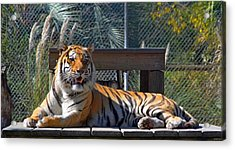 Zootography3 Tiger In The Sun Acrylic Print by Jeff at JSJ Photography