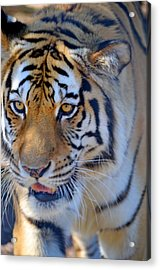 Zootography3 Tiger Prowl Close-up Acrylic Print by Jeff at JSJ Photography