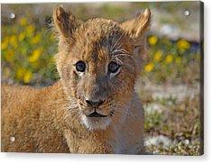 Zootography3 Zion The Lion Cub Acrylic Print by Jeff at JSJ Photography