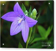 August Balloon Flower Acrylic Print by Marjorie Imbeau